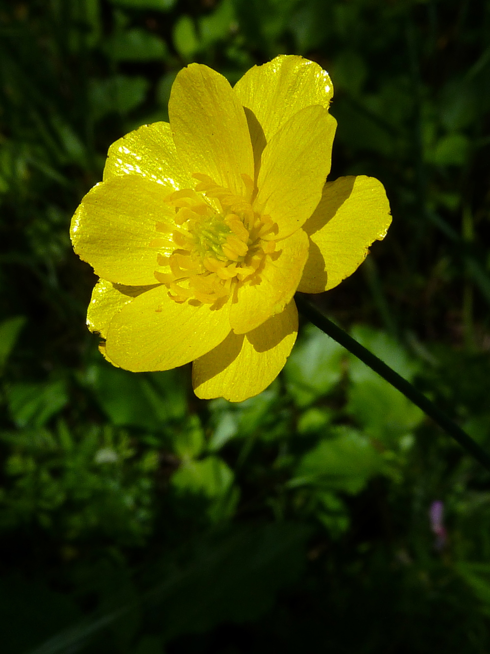 A California buttercup graces Indian Joe Creek Trail.