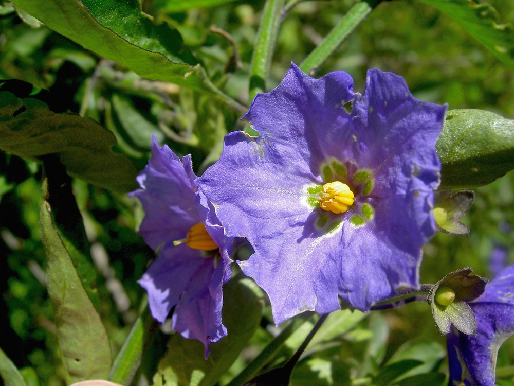 Purple nightshade brightens Canyon View Trail.