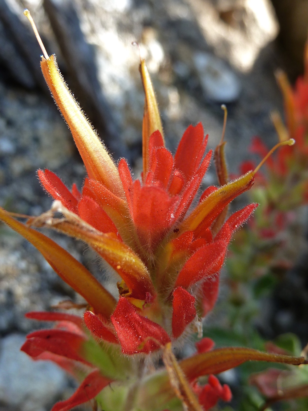 Great red paintbrush, Snow Creek Trail.