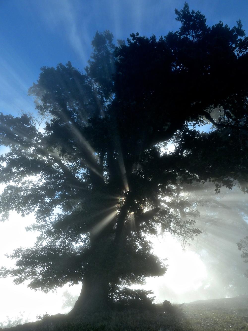 Coast live oak, Mt. Tamalpais State Park.