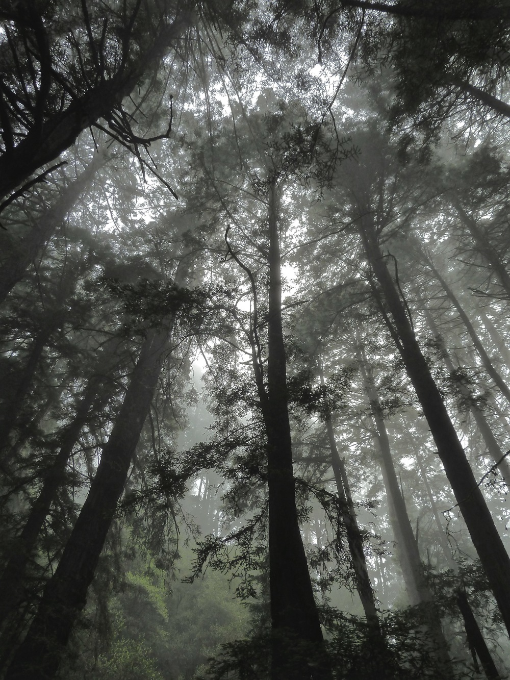 California coast redwoods on a foggy morning in the Steep Ravine, Mt. Tamalpais State Park.