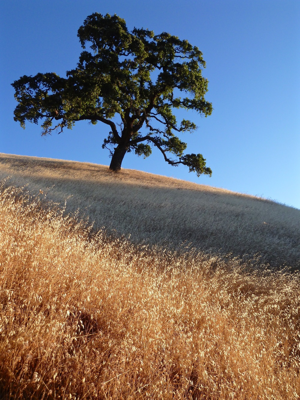 A valley oak welcomes morning sunlight on the Clyma Trail.
