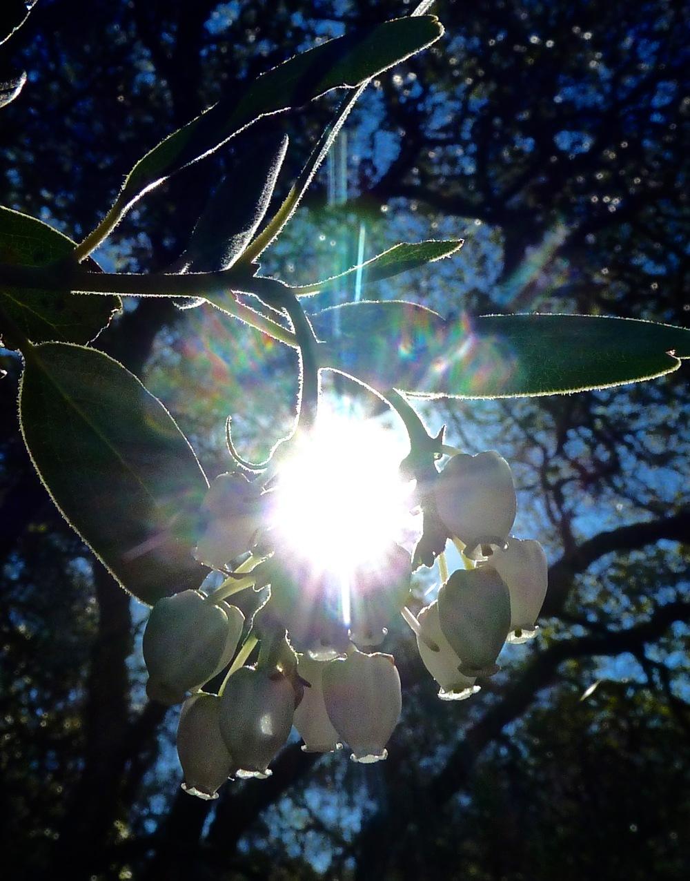 Manzanita blossoms, Condor Trail.