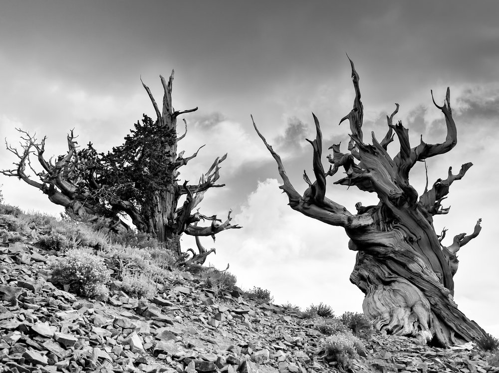 The ancient bristlecone pines of Inyo National Forest. For Methuselah's protection, its location is kept a secret. Photo by hlnicaise/iStock/Getty Images.
