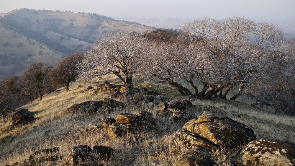 California buckeyes on a misty winter evening, Round Valley.