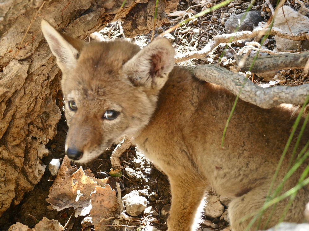 Coyote pup on the banks of Marsh Creek in Round Valley.