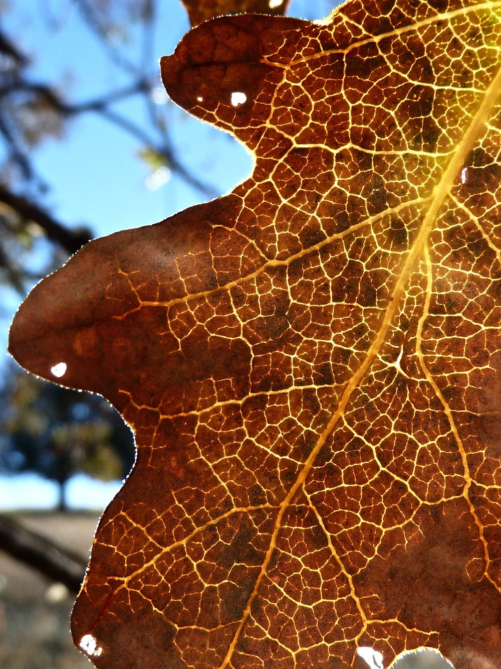The structure of a valley oak leaf. Autumn in Round Valley.