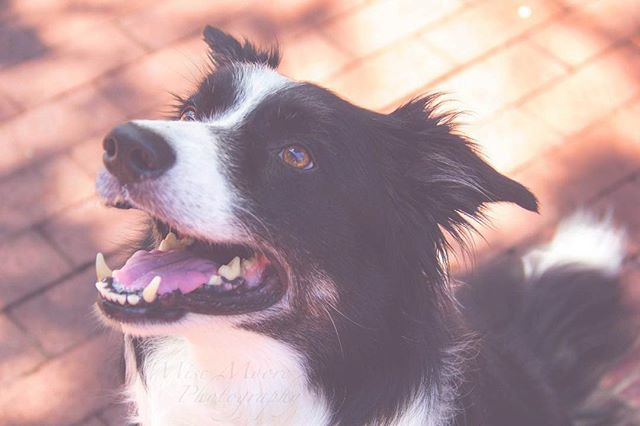 Good morning from Tristan, the photogenic Border Collie! But he's more than just a pretty face - this Canine Good Citizen and registered therapy dog is actually a pretty mellow boy with a big, big heart. So lucky to have such amazing clients! ❤️