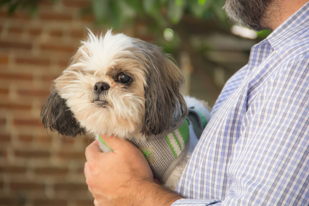 Willie the one-eyed lhasa apso