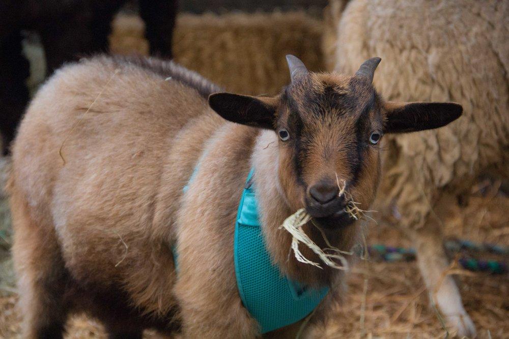 Tiny goat named Hershey at Boulevard UMC live nativity