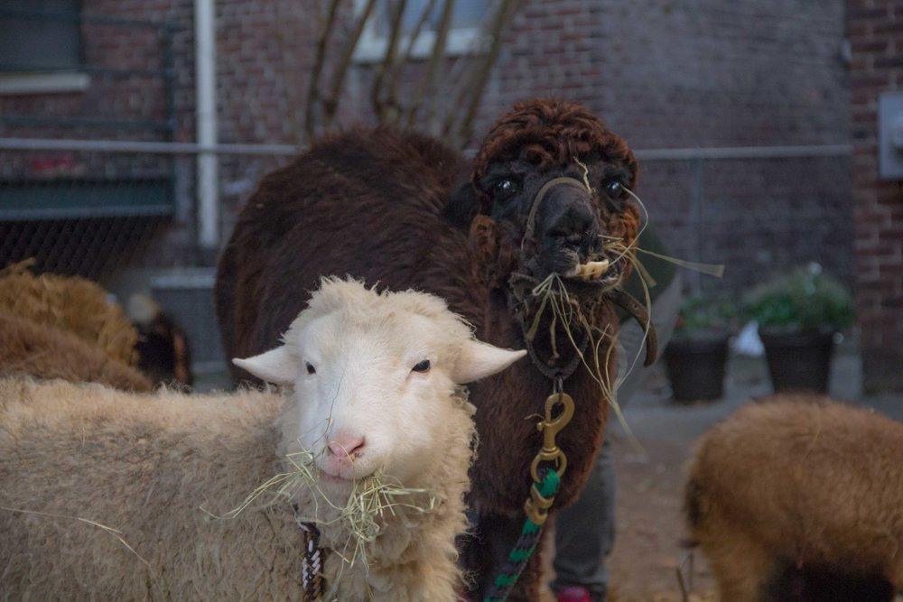 Sheep and alpaca