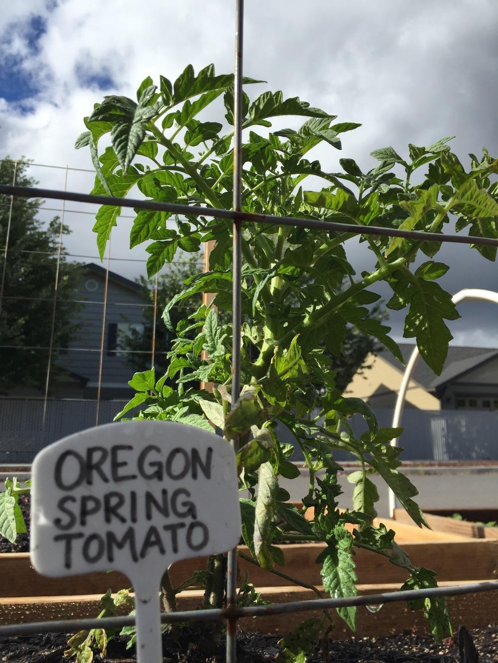 Tomatoes FB1.jpg