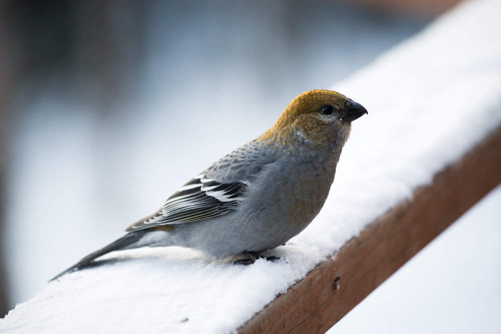 Miss Pine Grosbeak