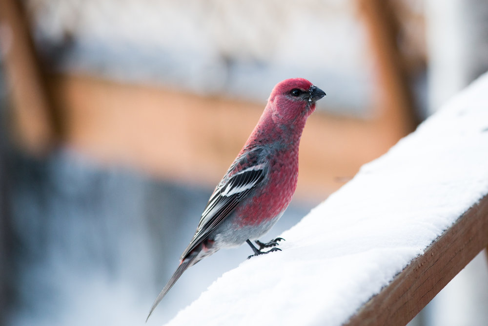 Mister Pine Grosbeak