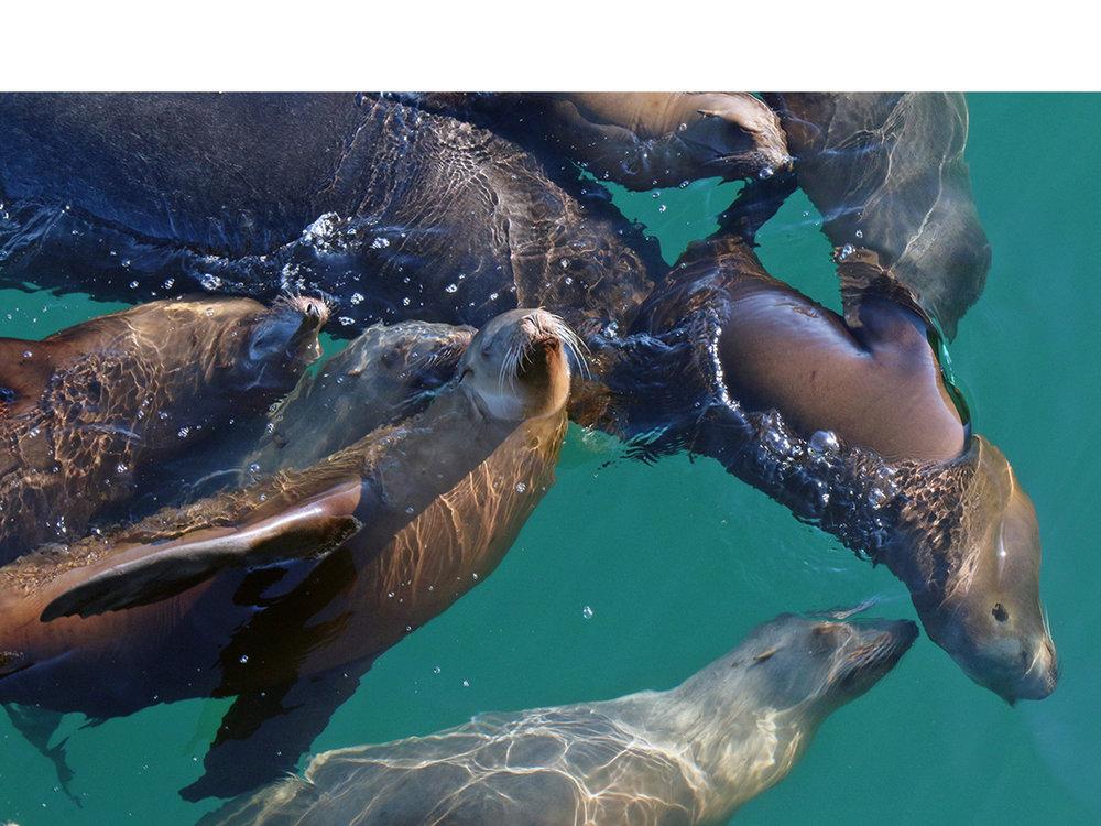 A Joyful Raft of Sea Lions—Monterey Bay, CA