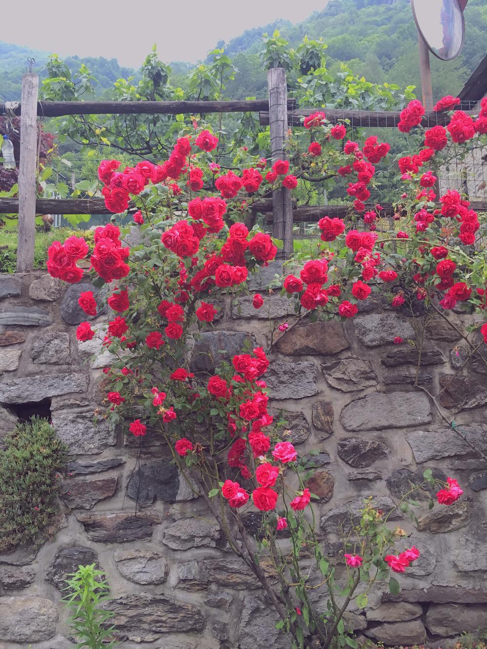 swiss roses.jpg