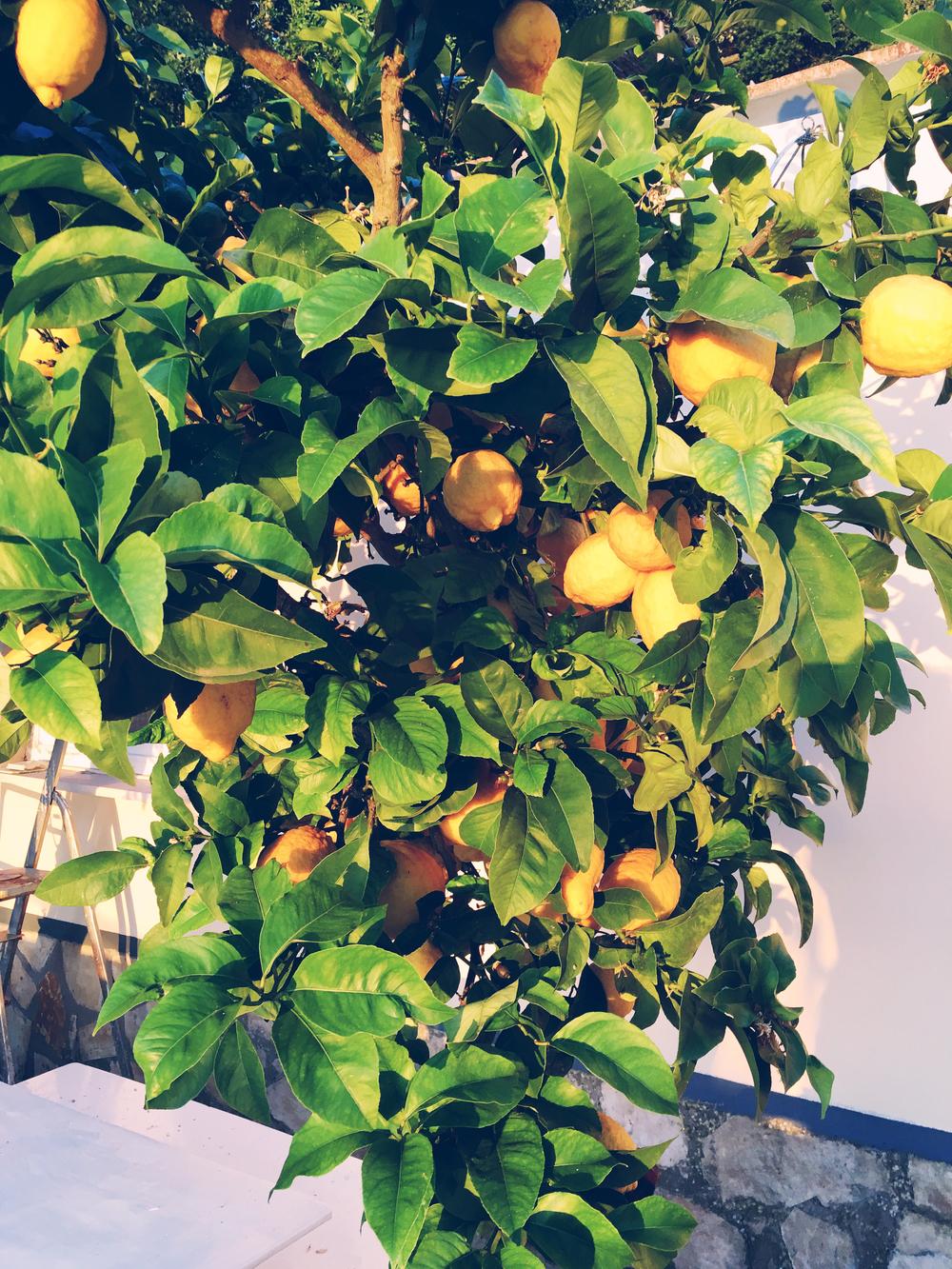 Lemon tree in the airbnb