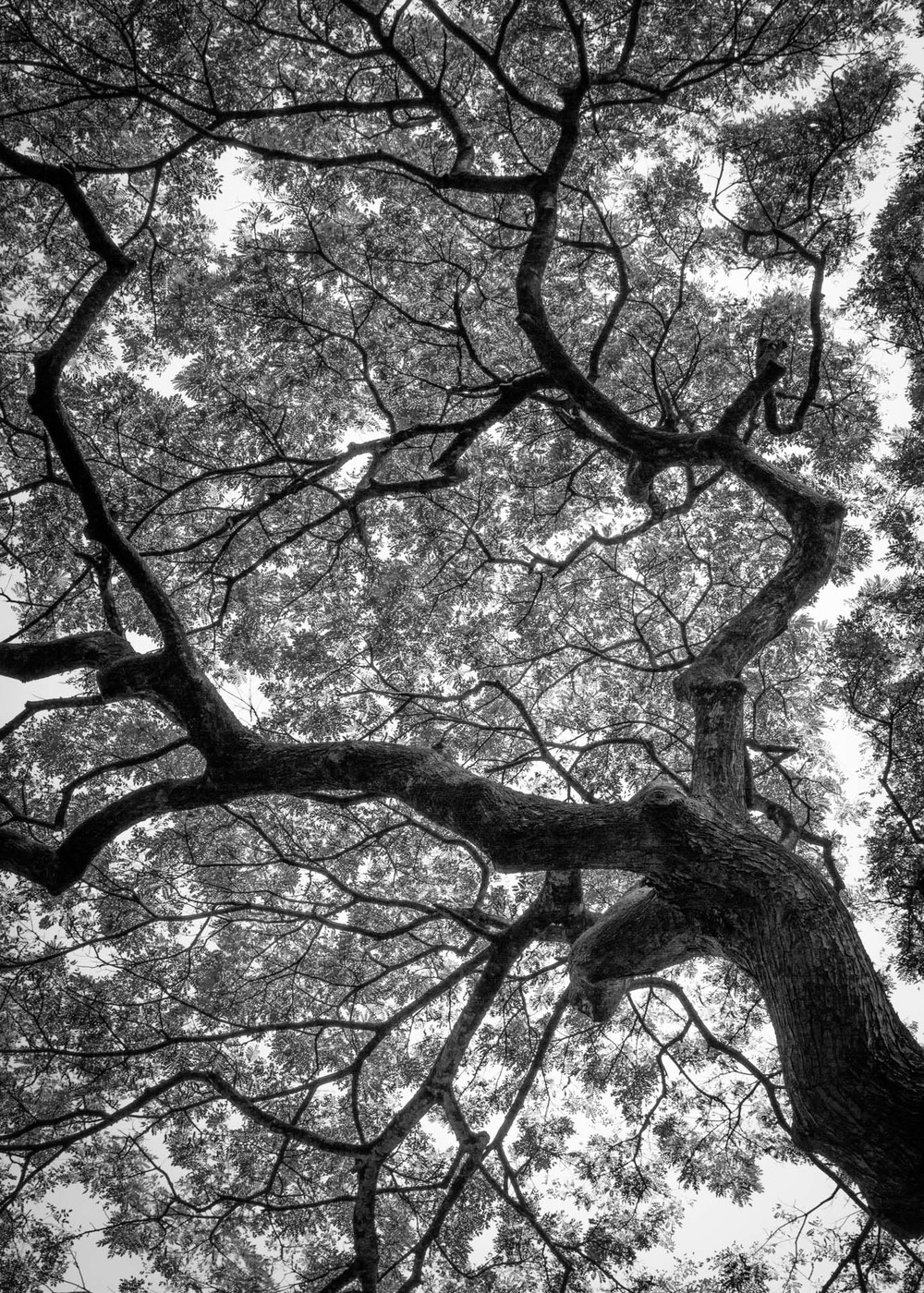 Wiamea Tree_30x42_lr.jpg