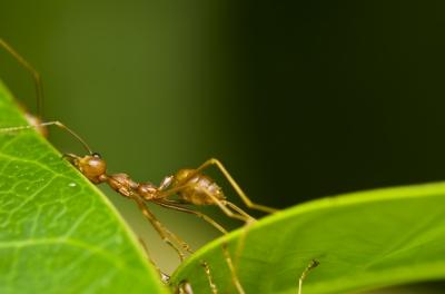 Ant-Pushing