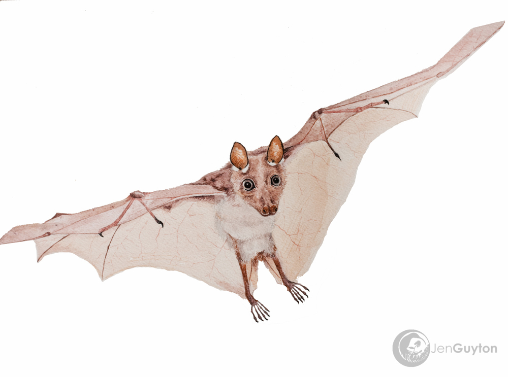 A painting of the female Wahlberg's epauletted fruit bat ( Epomophorus wahlbergi ) that peed on Kaitlyn.