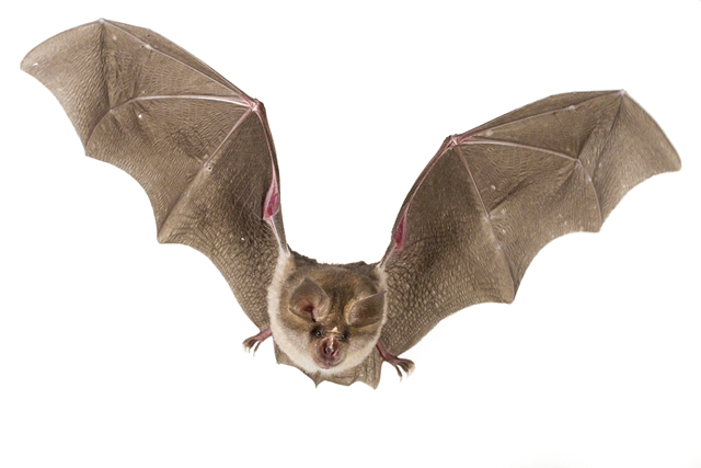 A photograph of  Rhinolophus landeri , a clutter-foraging horseshoe bat. Its wings are short and broad, and can be drawn in to avoid obstacles, as shown here by the wrinkling in the wing membrane. Photograph by Piotr Naskrecki.