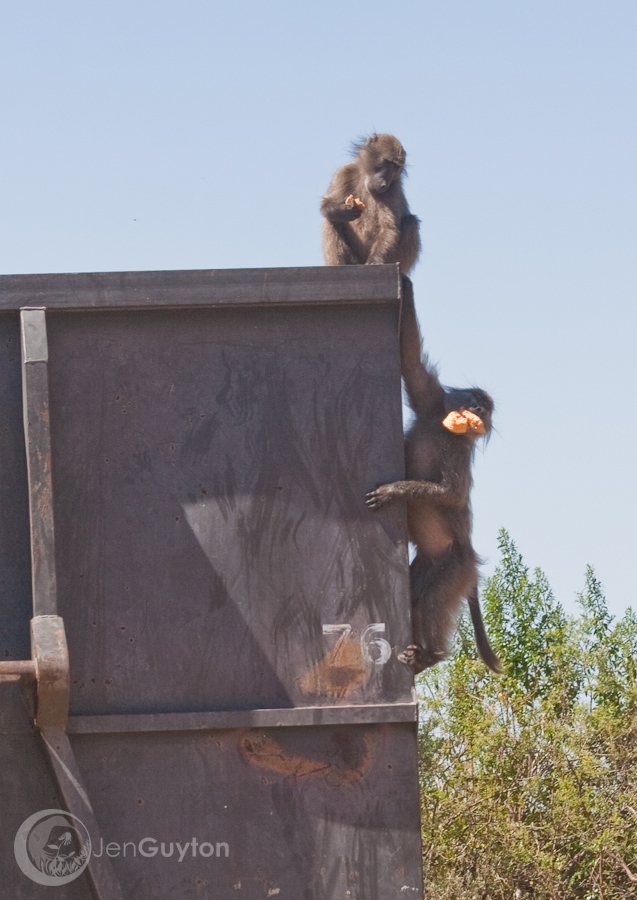Baboons raiding the hotel dumpster.