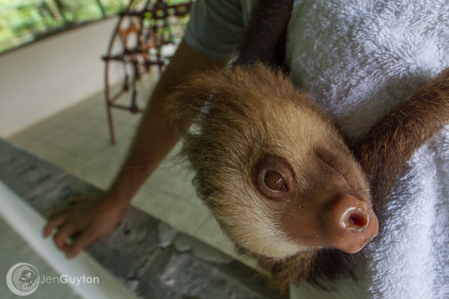 A baby orphan two-toed sloth hangs onto its keeper's shoulder.