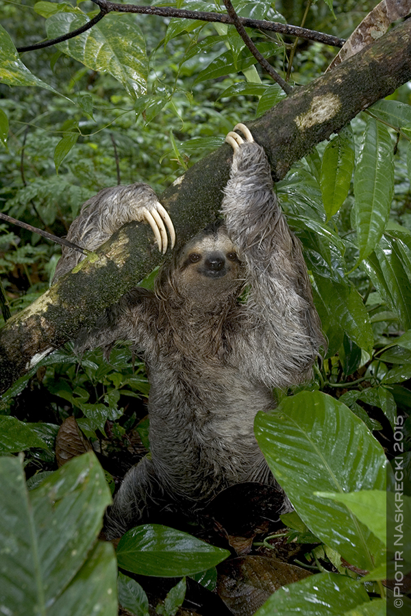 A three-toed sloth during a bathroom break on the forest floor. Photo by  Piotr Naskrecki .