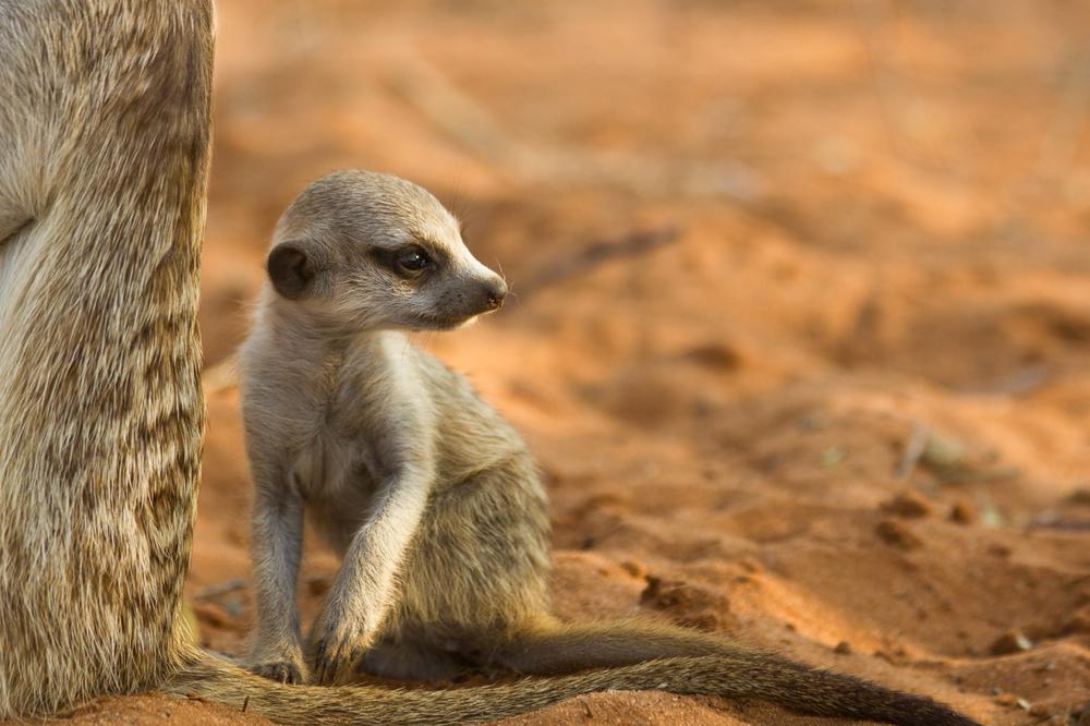 meerkats-1618.jpg