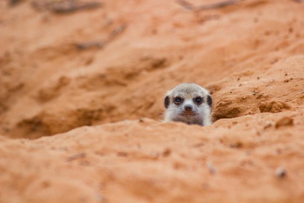 meerkats-2730.jpg