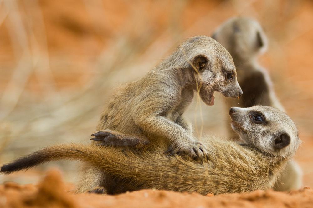 meerkats-2800.jpg