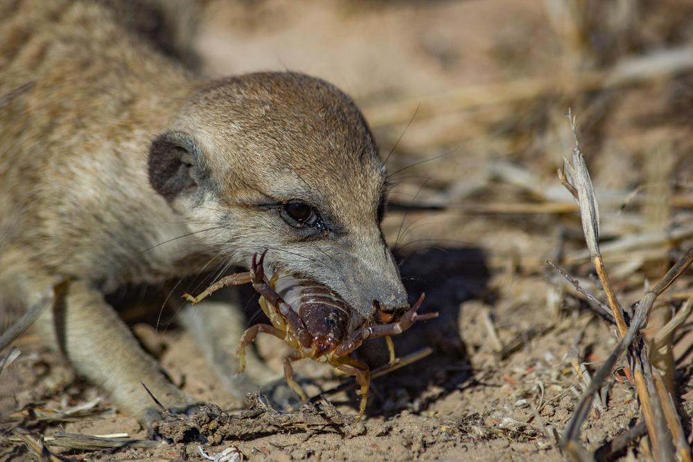 meerkats-3076.jpg