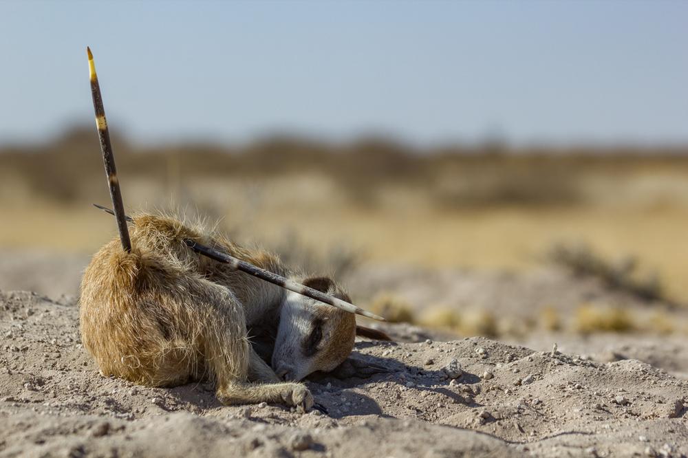 meerkats-3308.jpg