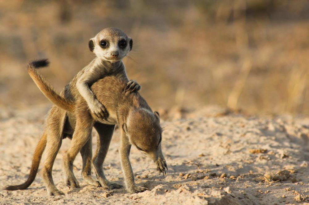 meerkats-4174.jpg