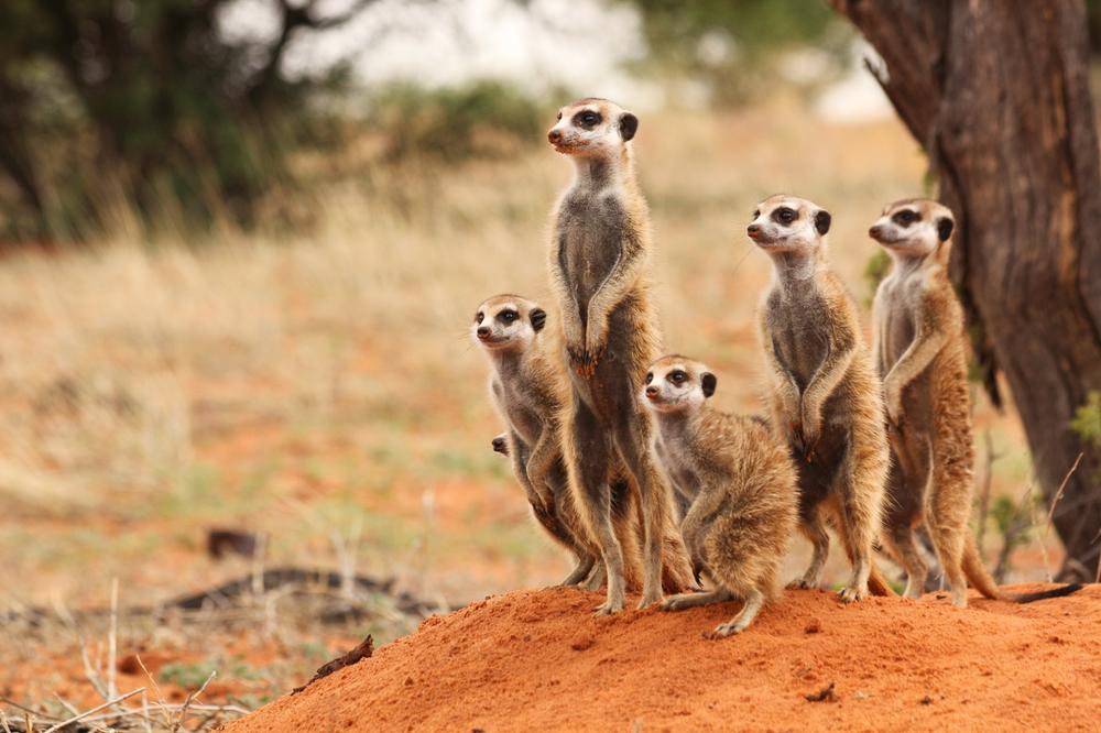 meerkats-4304.jpg