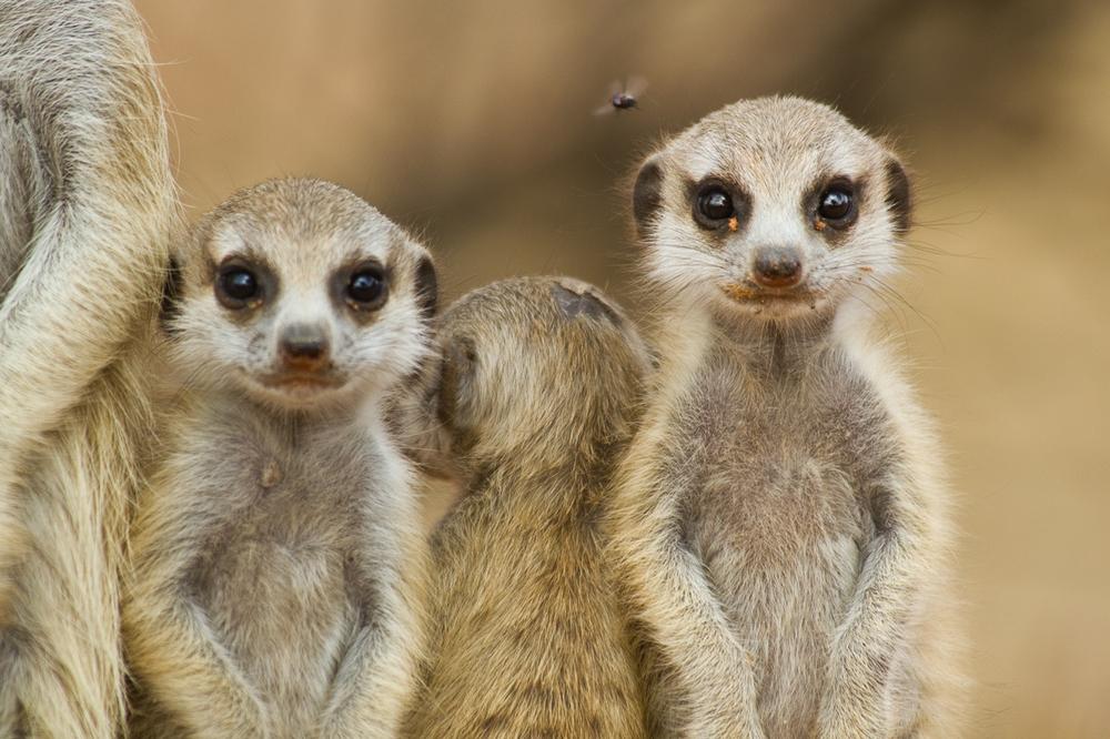meerkats-2869.jpg