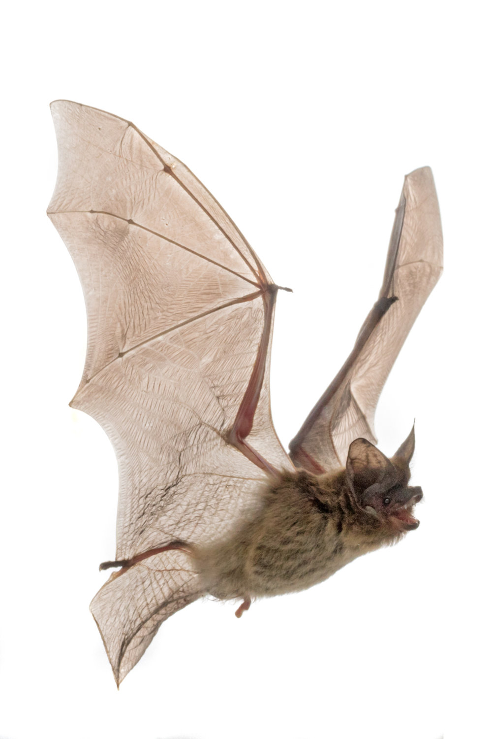 Laeophotis botswanae, the Botswanan long-eared bat.