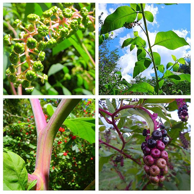 Pokeweed (Phytolacca americana) at Steve's Cabin (Late July, 2011) & Knox Farm (Mid October, 2015) #Pokeweed #Phytolacca #Phytolaccaamericana #Phytolaccaceae #Caryophyllales #AmericanPokeweed #PokeSallet #PolkSalad #PokePlant #PokeRoot #Pokeberry #PokeberryDye #PokeberryInk #IndianGreens #Inkberry #Inkberry #Pigeonberry #RedInkPlant #Redweed #botanizing #botany #nature #natureporn #nature_obsession #plant #plants #plantnerd #fieldguide #fieldguides #thefieldguidesl