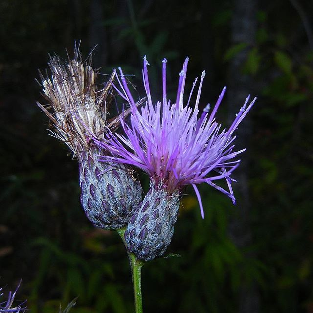 Cirsium muticum (Swamp Thistle) at Kennekuck Cove County Park (Mid September, 2017) #Cirsium #Cnicus #Cirsiummuticum #SwampThistle #MarshThistle #DanceNettle #Asterales #Asteraceae #Botanizing #Botany #IFuckingLovePlants #MustLovePlants #Nature #NaturePorn #Nature_Obsession #Plant #Plants #PlantNerd #Fieldguide #FieldGuides #TheFieldGuides #IllinoisBotany #illinoiswildflowers #naturalillinois #Kennekuk #KennekukCoveCountyPark #KennekukCountyPark