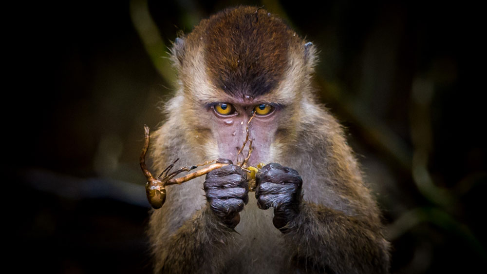 A long-tailed macaque--native to the Sabah jungle of Malaysia--examines a piece of fruit. He's quite the connoisuer!