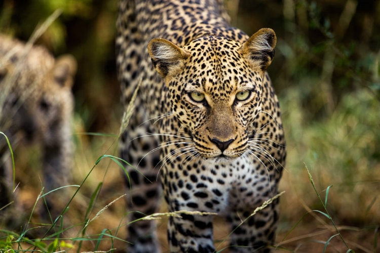 This leopard's look is  exactly  why Eric uses such a long camera lens.