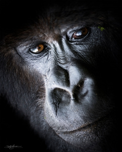 This closeup of a mountain gorilla really looks like it was taken in a studio!