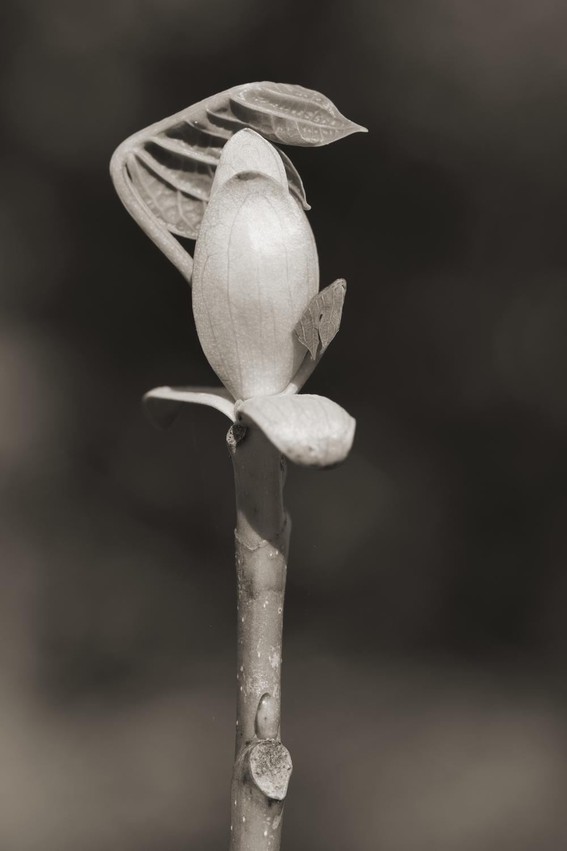 Tulip Poplar #1