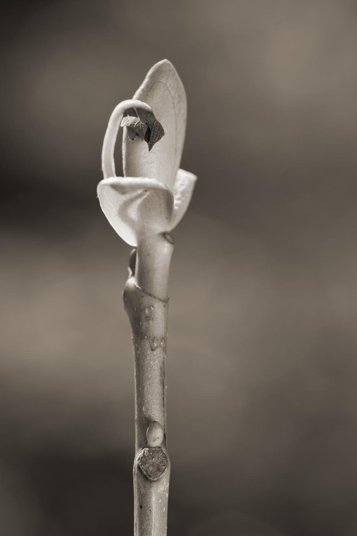Tulip Poplar #3