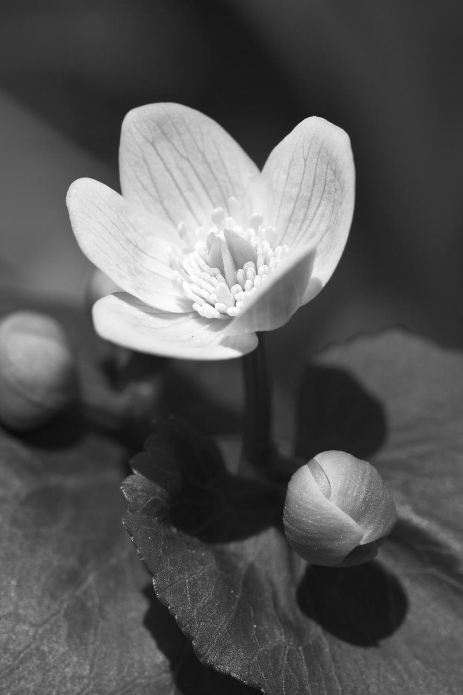 Marsh Marigold #1