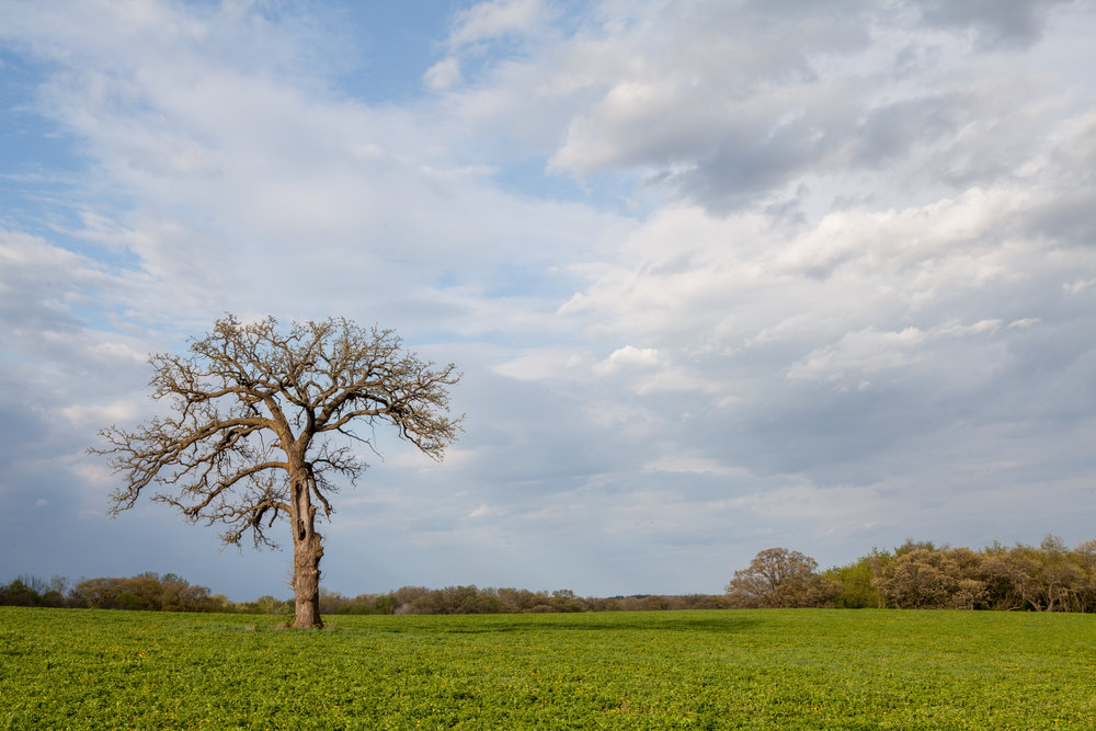 Name for a Tree Standing Alone in a Farm Field