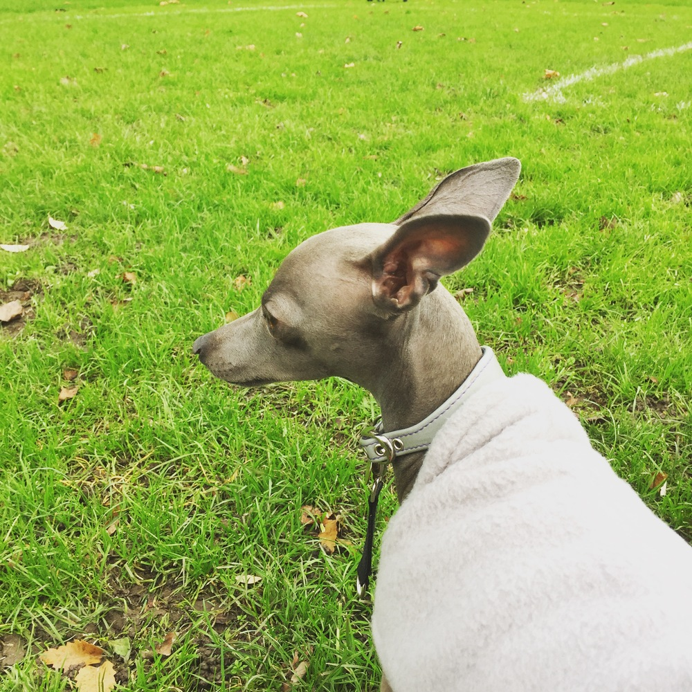 Ziggy - Italian Greyhound