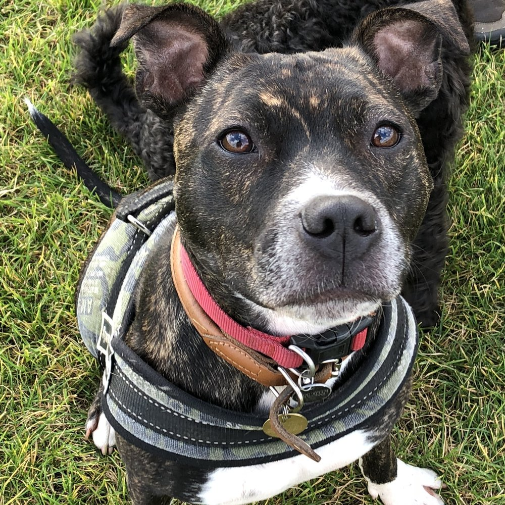 King, awesome Staffie cross