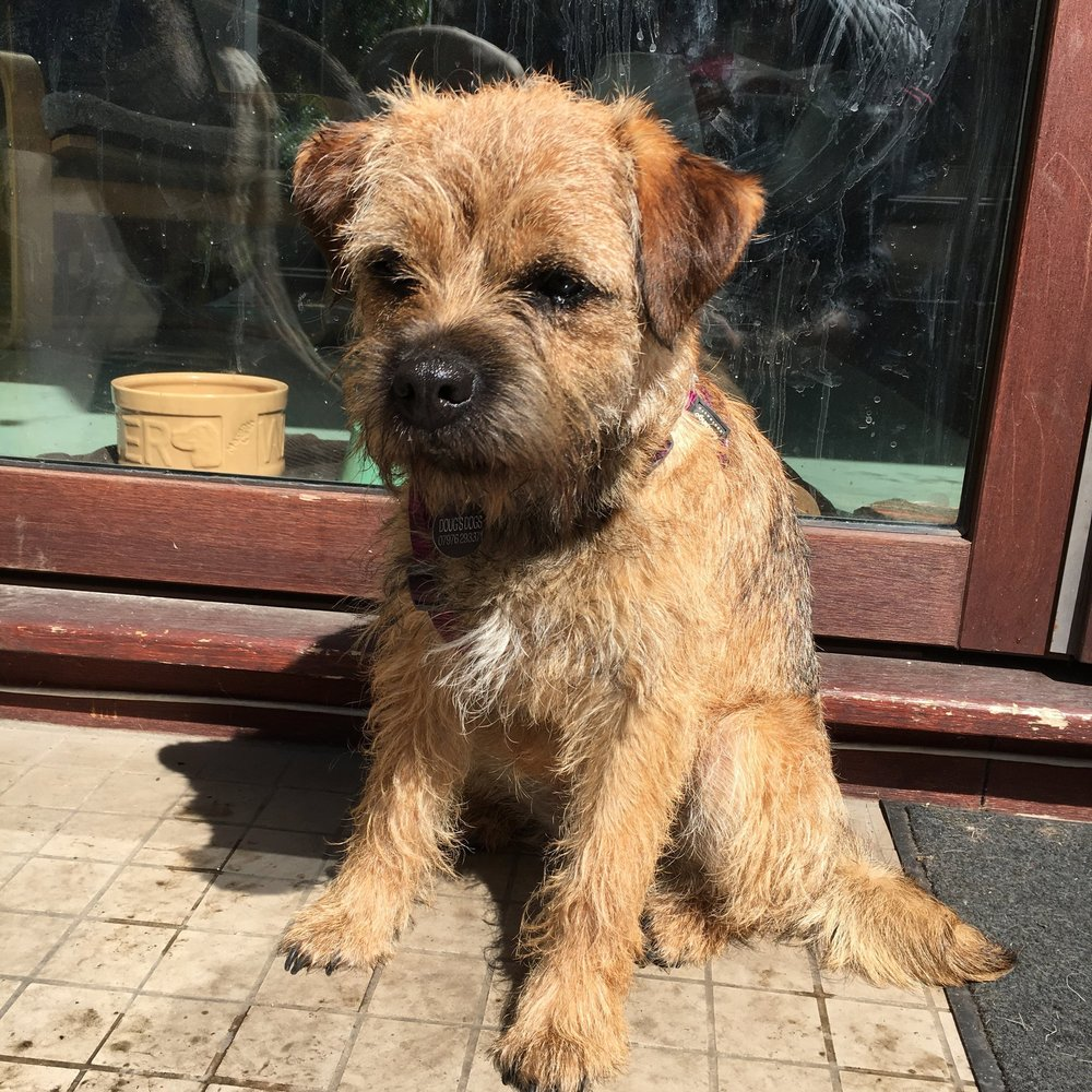 Bridie the Border Terrier