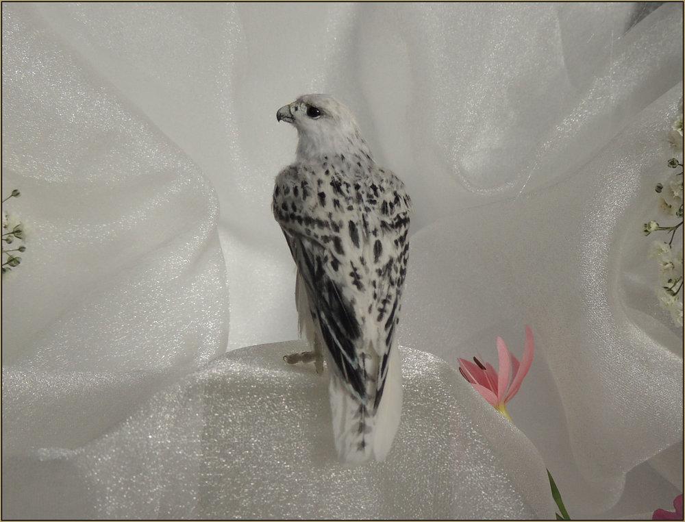 White Morph Gyrfalcon
